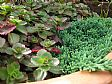 Punica Plant Sale